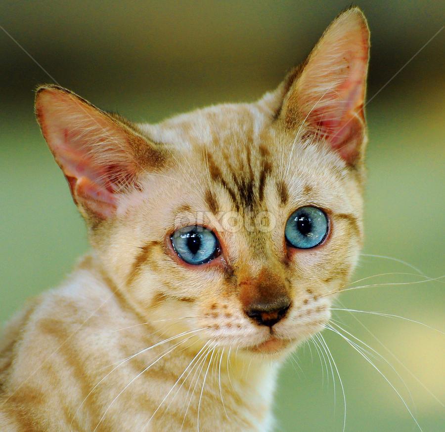 Snow bengal by Cacang Effendi - Animals - Cats Portraits ( cats, cattery, kitten, chandra, animal, pwc84 )
