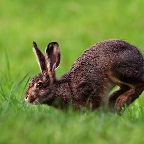 by Zeljko Padavic - Animals Other Mammals ( rabbit, adventure, wildlife )