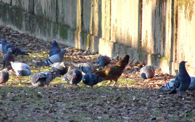 Un intruso tra i piccioni di joysphoto