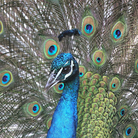 Male Peacock by Ken Keener - Animals Birds ( colorful, peafowl, male, displaying, peacock )