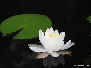 Photo: White water lily on Spectacle Pond in Brighton State Park by Debbie Thomas