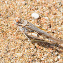 Yellow-winged Digging Grasshopper