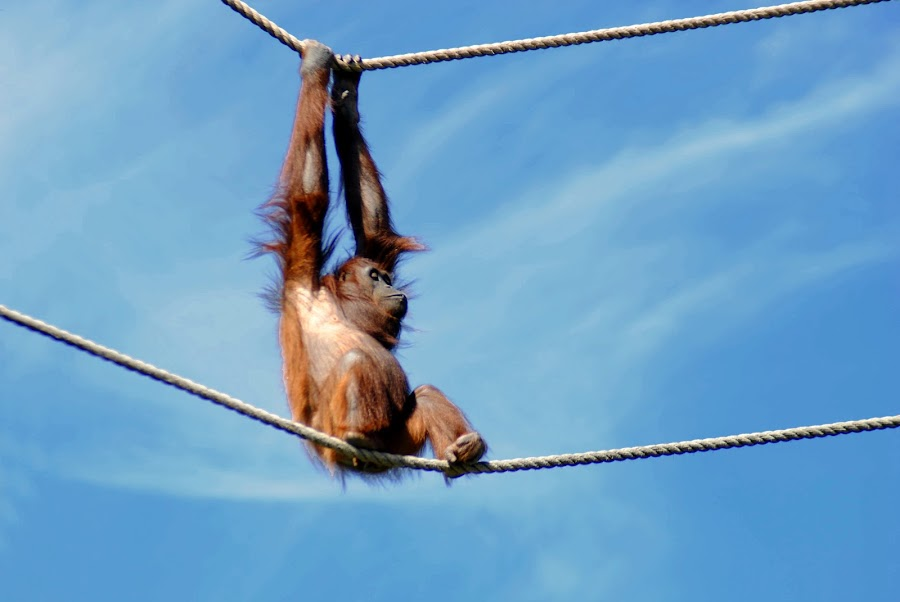 by Jade Newman - Animals Other Mammals ( zoo, monkey, animal )