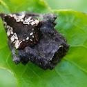 Bird dung mimic spider
