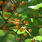 Melinocarpa Fig