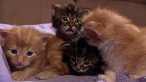 Kitten Cottonballs thumbnail