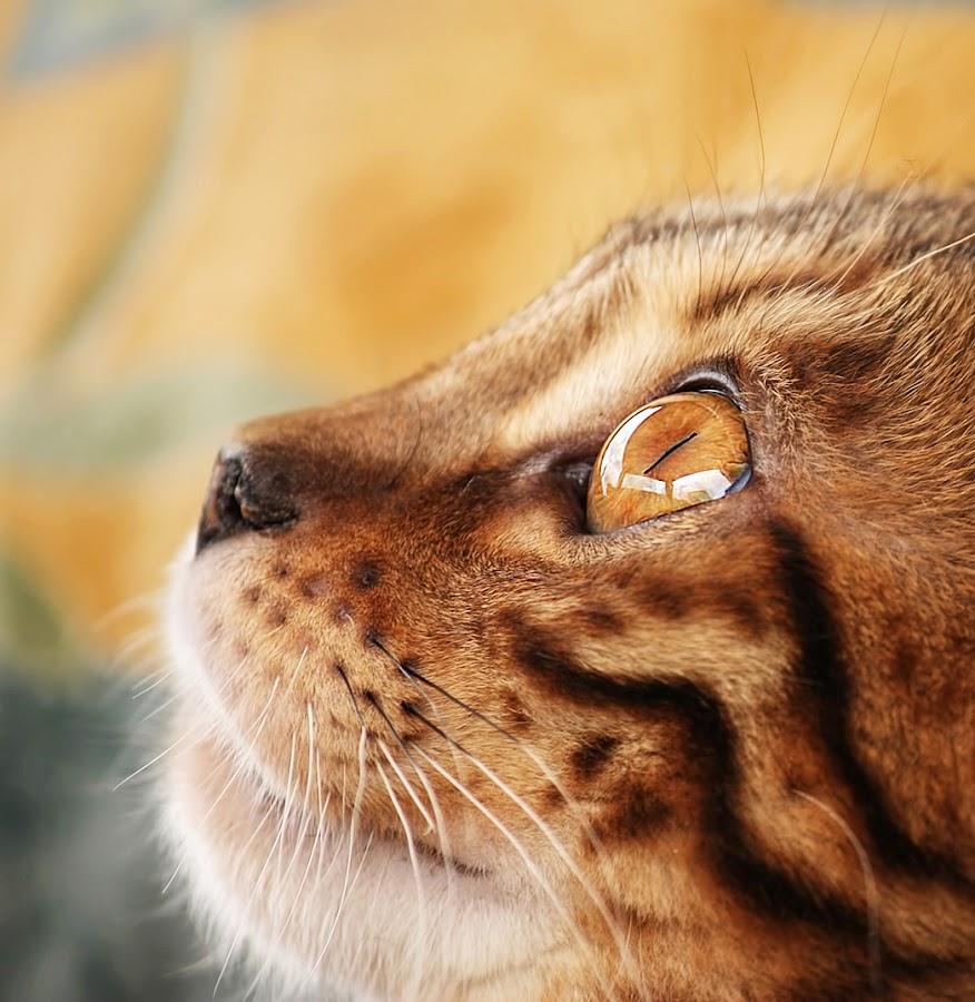 by Jane Bjerkli - Animals - Cats Portraits ( cat, pet, bengal, portrait, eye, pwc84 )