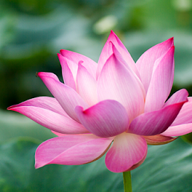 by Steven De Siow - Flowers Single Flower ( lotus flower, single flower, lotus, pink flower, flower )