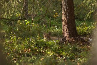 Photo: Baby lynx