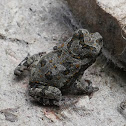 Cane Toad (toadlet)