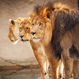 Memphis Zoo by Mary Phelps - Animals Lions, Tigers & Big Cats ( memphis, tennessee, cat, african lion, memphis zoo, zoo, lion, canon,  )