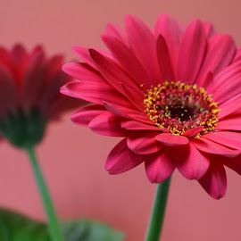 Hot Pink Front and Back by Gillian James - Flowers Single Flower ( cerise, pink, close up, gerbera, flower )