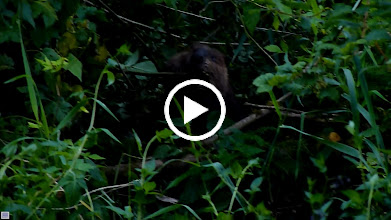 Video: The Beaver has cut down a Vine Maple shoot and is dragging it back to the river