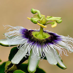 by ERFAN AFIAT SENTOSA - Nature Up Close Flowers - 2011-2013 ( jungle's law, flower, nature, flowers )