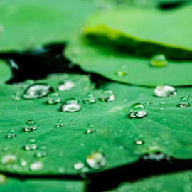 green drops by Empty Deebee - Nature Up Close Water ( raindrops, water lily, raindrop )