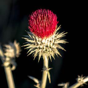 Desert Thistle by John Shelton - Flowers Single Flower ( plant, macro, thistle, red, desert, nevada, weed, flower,  )