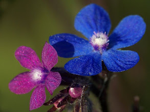 Photo: Anchusa azurea