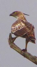 Photo: Mountain Hawk Eagle (Spizaetus nipalensis)
