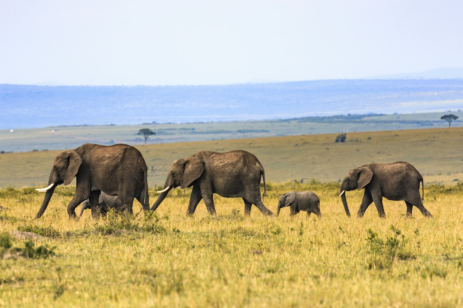 Three adult and two baby elephants walking through the grassland
