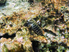 Photo: Salarias fasciatus (Algae Blenny), Small Lagoon, Miniloc Island, Palawan, Philippines.