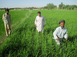Photo: Farmers using SRI manual weeders in SRI-plots in Teloqan, Takhar, Afghanistan. [Photo Courtesy of Ali Muhammad Ramzi, 2013]