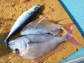 Photo: おおおーっ! 真鯛2匹とサバキャッチ!