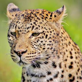 Leopard portrait by Jane Fourie - Animals Lions, Tigers & Big Cats ( big cat, nature, wildlife, portrait, leopard,  )