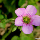 Pink Wood Sorrel, Vinagrillo Morado, Pink Woodsorrel, Pink Shamrock, False Shamrock, and Lilac Oxalis