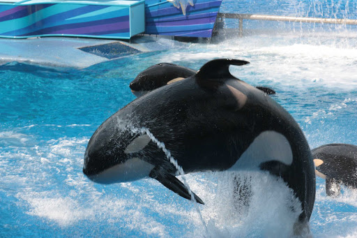 seaworld-orlando-orcas.jpg - Orcas, born in captivity, perform at SeaWorld Orlando theme park.