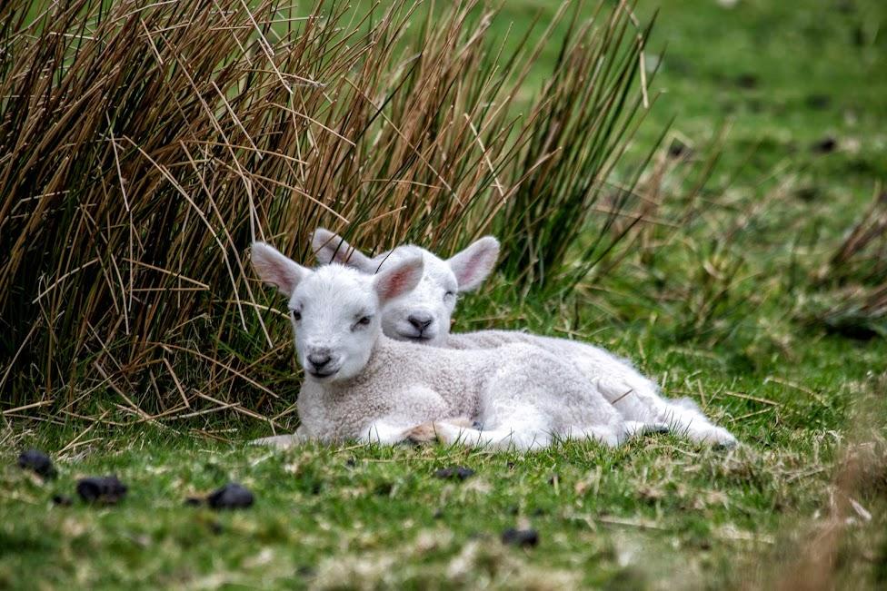Szkocja, owce