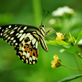 Butterfly by Muntazeri Abdi - Animals Insects & Spiders