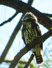 Photo: Fledgling Northern Pygmy-Owl calling to parent at Calliope Crossing, Indian Ford Creek, Sisters, OR