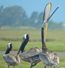Photo: 137. You can see here by the way this brown pelican is gaping that it can hold several fish in its large mouth, when it's out fishing for a living.