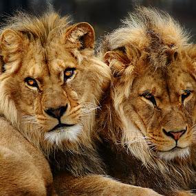 Les deux frères by Gérard CHATENET - Animals Lions, Tigers & Big Cats (  )