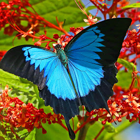 by Lee Newman - Animals Insects & Spiders ( butterfly, red flower, blue, beautiful, garden )