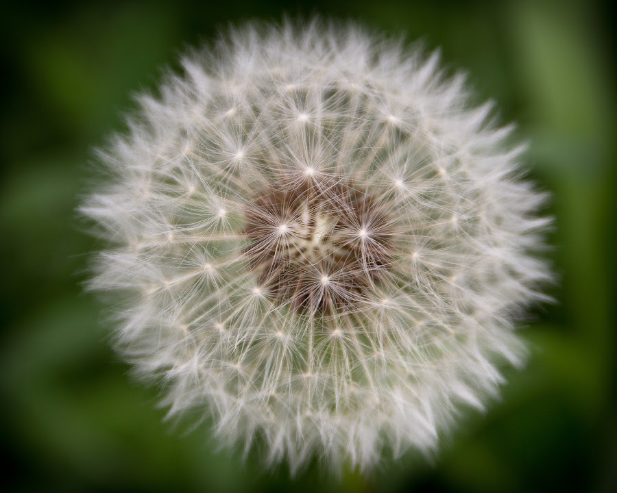 Dandelion whisps by Meaghan Browning - Nature Up Close Other plants