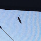 Unknown Spotting ( Grasshopper )