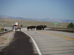 Photo: Day 19 Dubois to Riverton WY 79 miles 1410' climbing: Ranchers would get them across street, then one or two would get away and go back onto the street