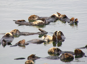 Photo: (Year 3) Day 20 - Otters Floating  #1