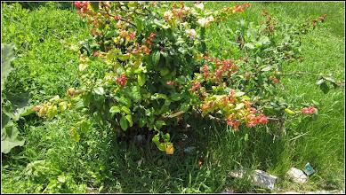 Photo: Gutui Japonez (Chaenomeles japonica)  - din Turda, Str. Andrei Muresanu, spatiu verde - 2019.06.10