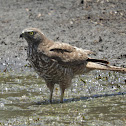 Brown Goshawk (immature)