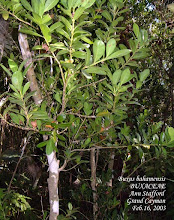 Photo: Boxwood - Buxus bahamensis, Family: BUXACEAE. Critically Endangered. Cayman Islands, Bahamas, Cuba and Jamaica Photo: Ann Stafford, QE II Botanic Park, Grand Cayman, Feb. 16, 2003