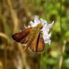 The Lulworth skipper
