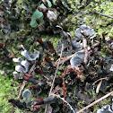 Peltigera lichen?