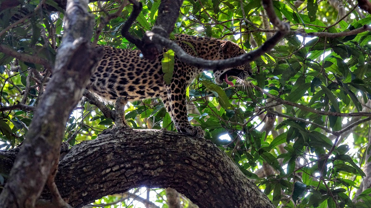 Sri. Lanka Wilpattu National Park . Life is hard, leopard-style