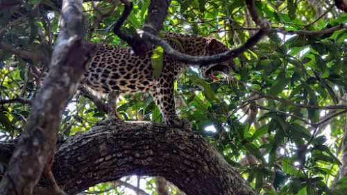 Sri. Lanka Wilpattu National Park . Life is hard, leopard-style