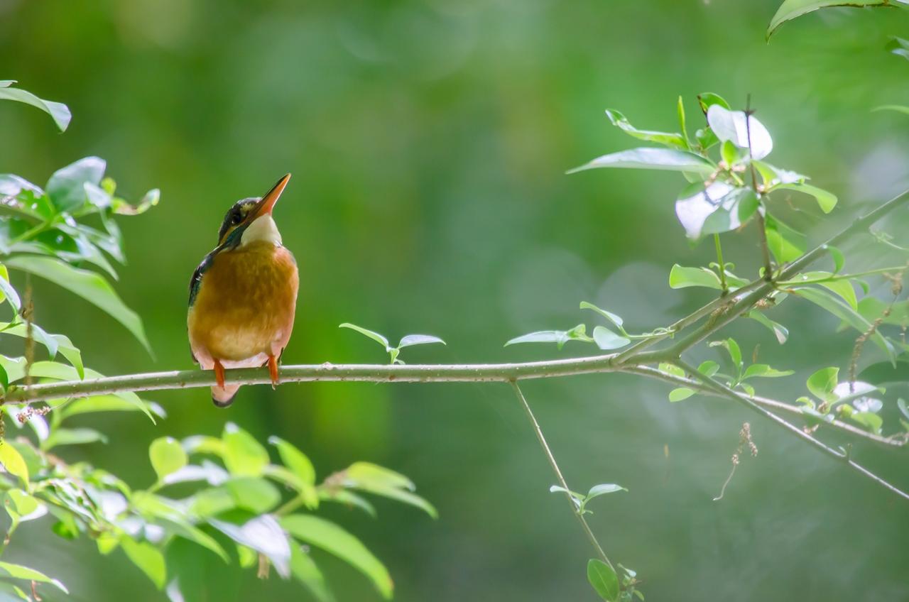 Photo: 緑を見上げて Look up at the fresh green.  青葉に包まれる森の中 狩の合い間の一休み ふっと一息 森の緑がどんどん深まっていく  ★★写真展へ出展中の作品を紹介しています★★ 緑の深まる初夏の森で出会ったカワセミ、 カワセミというと翡翠色の羽のイメージが強いですが、 お腹の色合いはとても優しく、 可愛らしい一面もあります♪ ちょこんと枝にとまる短い足も可愛いですよね☆ この子のようにふっと一休み そんな気持ちでギャラリーに 立ち寄っていただけたらと思います。 Photo of Kingfisher.  今日もClose前40分程度ですが 18:20頃から在廊予定です。 作品についての質問やエピソード なにかお話したいことなどがあればお気軽にたずねてください♪  takashi kitajimaさんも17時頃より在廊予定です。 ぜひこの機会に作品のお話など 伺ってみてください^^  -------------------------------------- 【おしらせ】三人写真展七日目です  「Google+三人写真展 2014 / The Three Men Emerge 2014」  会期: 8月22日[金]~31日[日] Open 11:00-19:00 会場: Island Gallery 東京都中央区京橋1-5-5 B1 tel / 03-3517-2125 ※入場無料 会期中無休 協賛: マルマン株式会社 Canson Infinity 詳細: http://islandgallery.jp/9987  僕は8/30、31日はOpenからCloseまで在廊予定です。 平日はClose前30分程ですが在廊予定です。 ---------------------------------------------- #birdphotography #birds #cooljapan #365cooljapanmay Nikon D7000 SIGMA APO 50-500mm F5-6.3 DG OS HSM [ Day108, August 28th ]