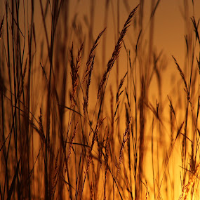 Grassy Sunrise by Rhonda Mullen - Nature Up Close Leaves & Grasses ( vertical lines, pwc )