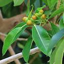 Acorn Fig