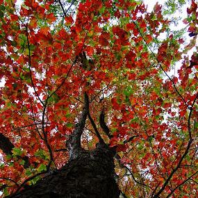 Big Red by Vivian Gordon - Nature Up Close Trees & Bushes ( vigor, trunk, seasonal, tree, nature, leaves )